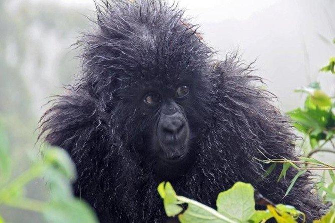 Trekking Mountain Gorillas, Chimpanzees and Golden Monkey