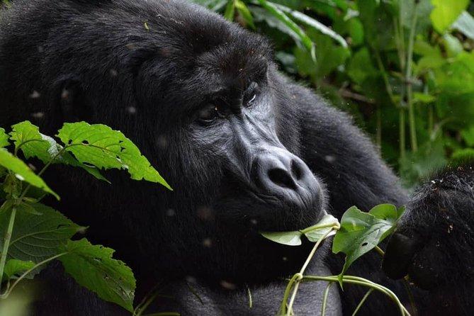 Gorilla Trekking in Uganda Bwindi Forest Park