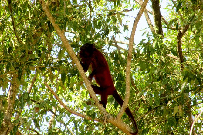 Howler monkey it the trees near the Bigi Pan lake