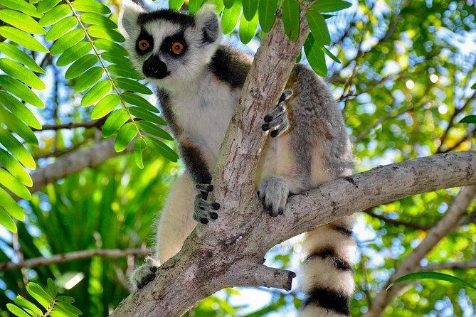 ringtailed-lemurs