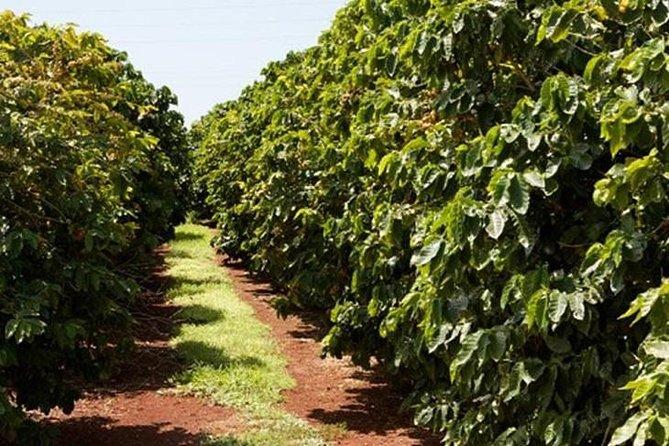 Half Day Visit To A Fairview Estate Coffee Farm Tour