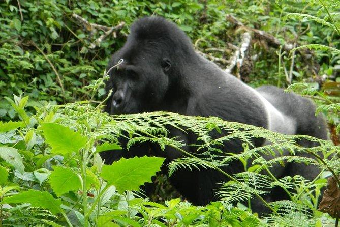 Active Volcano trekking , Gorillas trekking