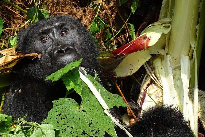 3 Days Gorilla Tracking experience - Bwindi Forest