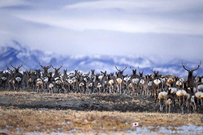 Large herd of Sika Deer