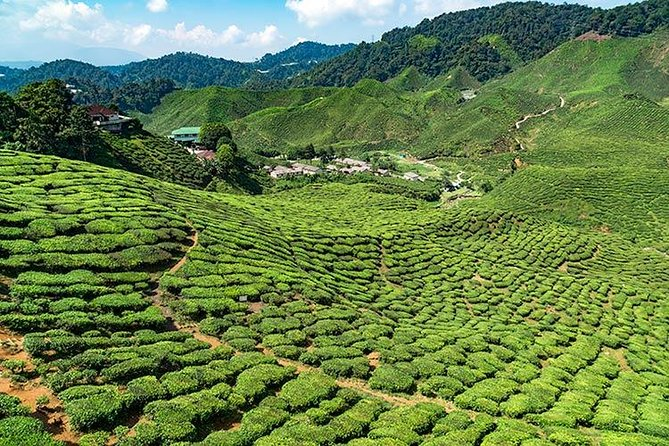 Cameron Highlands One Day Trip from Kuala Lumpur Privately Organised