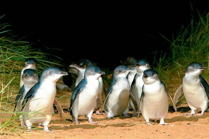 Phillip Island Penguins Private Tour