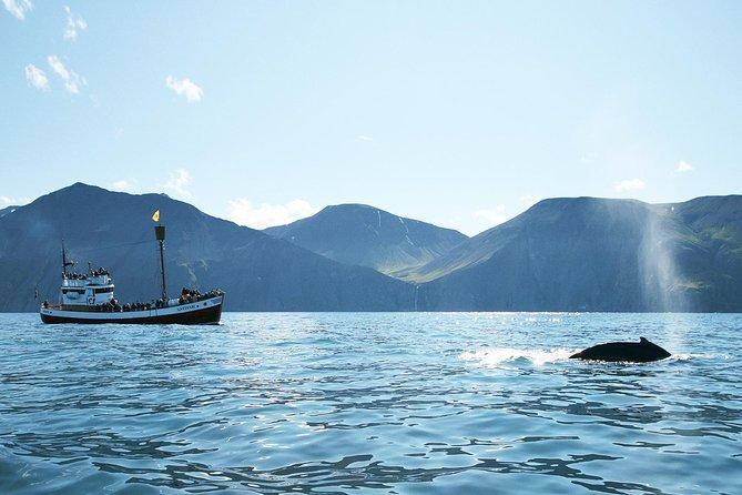 Observation des baleines et macareux à bord d'un navire traditionnel en bois de chêne au départ d'Husavik