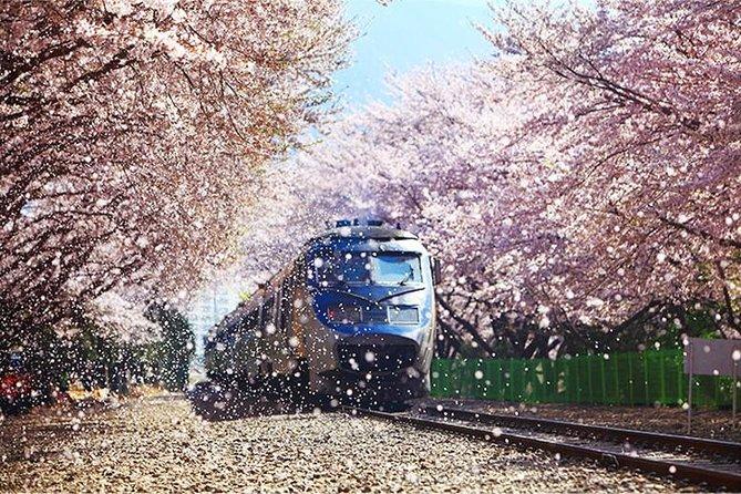 Spring 6 days Cherry Blossom Jeju&Busan&Jinhae&Gyeongju on 31 Mar to 10 Apr