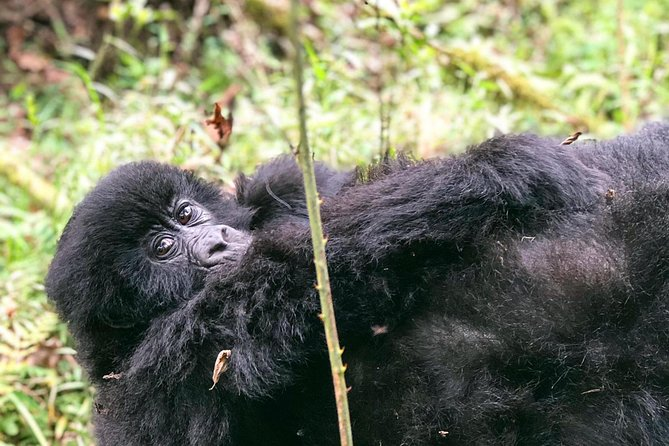 6 Day Uganda Gorilla Safari and Lake Bunyonyi Homestay Experience