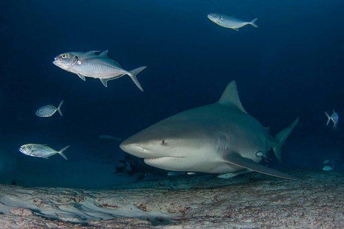 Leucas Sharks diving