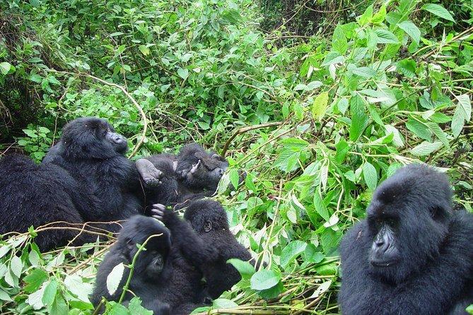 3 Day Kalinzu Forest Chimpanzee Trek and Gorilla Trekking at Bwindi Uganda