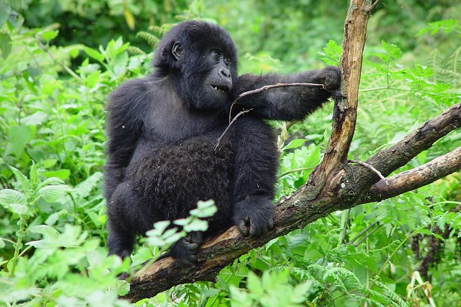 3 Day Gorilla Trekking Budget Safari at Bwindi National Park