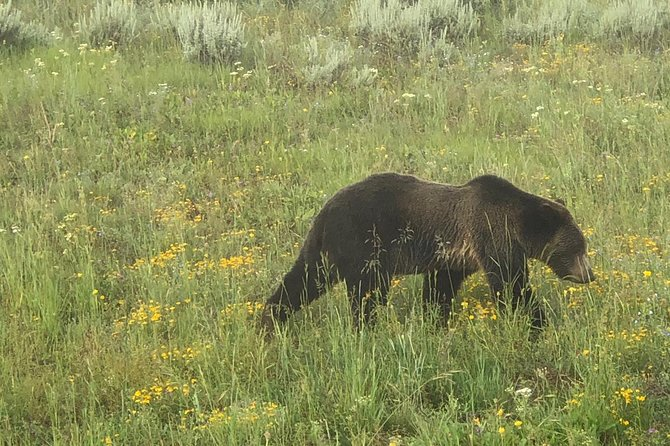 Private Yellowstone Wildlife Safari with guided hikes. Picnic Lunch included!