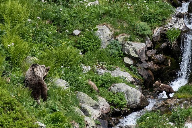 Bear and cubs, bearwatchng Slovakia