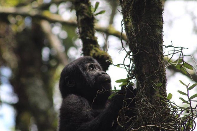8 Days Congo Gorilla Trekking
