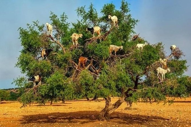 Goats climbing the trees