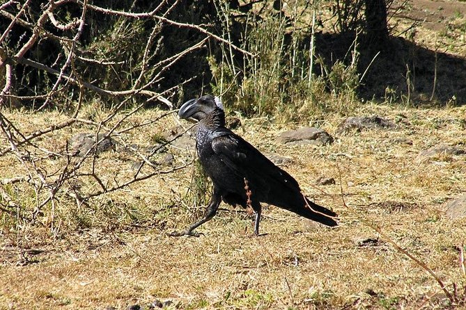 Birding in Ethiopia 8 days