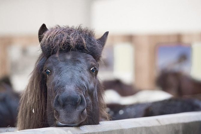 Icelandic Horse Experience - Stable Tour and Ride