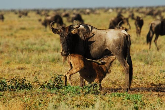 6 Days Serengeti Wildebeest Migration Holiday Safari Tours 2020 photo 4