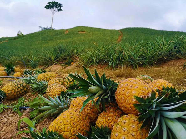 Private Tour - Pineapple Tour (Cultivations) photo 1