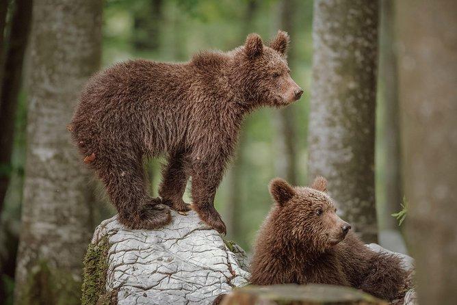 Bear Watching Slovenia