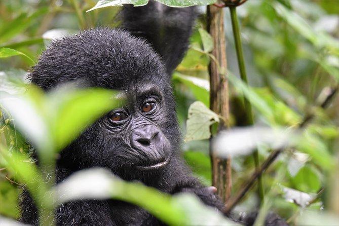 1 day Mountain Gorilla Trekking Safari Uganda
