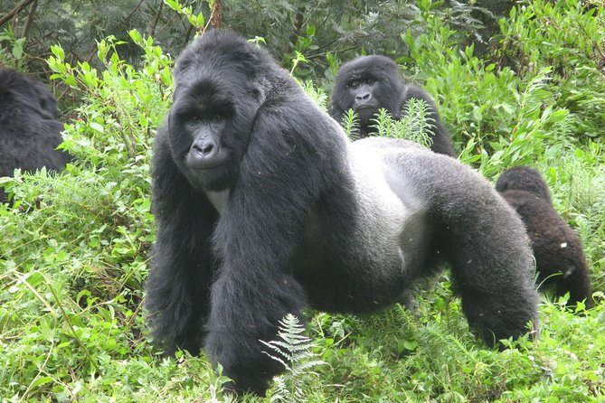 8day Bwindi GorillaTrekking,Queen Elizabeth Wildlife and Kibale Chimpanze safari