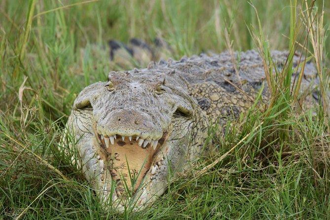 crocs on Kazinga channel