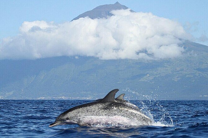 Dolphins in Pico island
