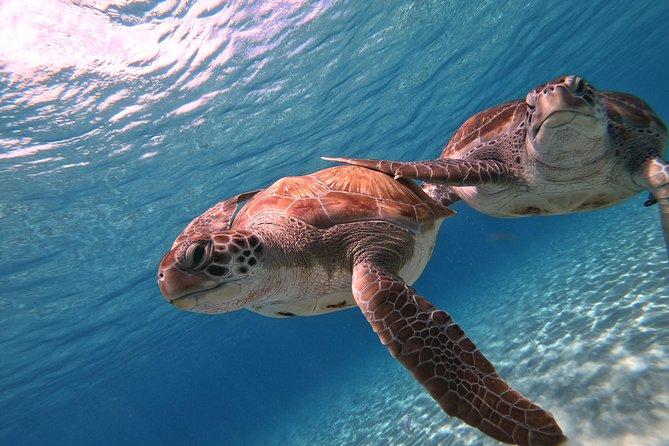 Nadar com tartarugas marinhas e Grote Knip Beach - Melhor excursão de cruzeiro