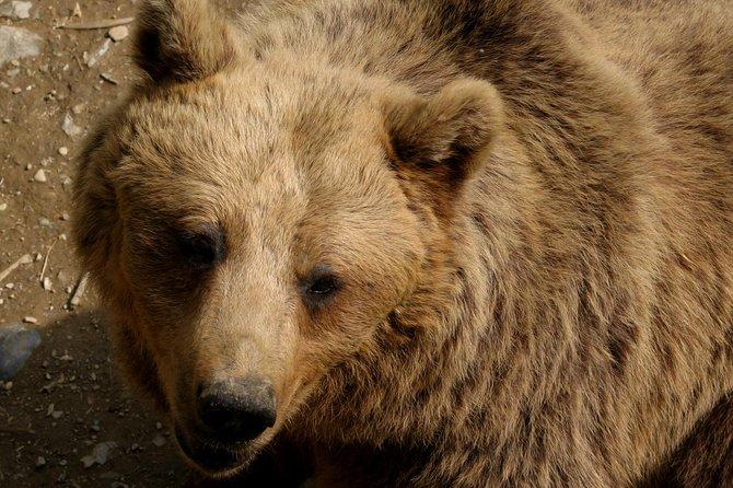 Bear watching Slovenia TuamV