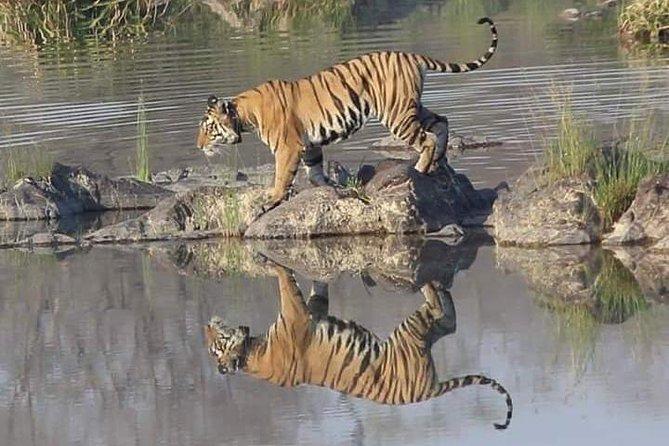 Nature Photograph of Panna Tiger.