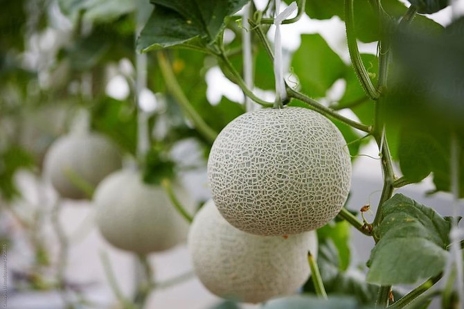Melonila Farm - The Best Melon Farm in Bali