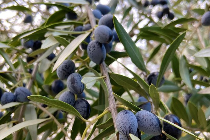 Olive Harvest with Tasting and Lunch