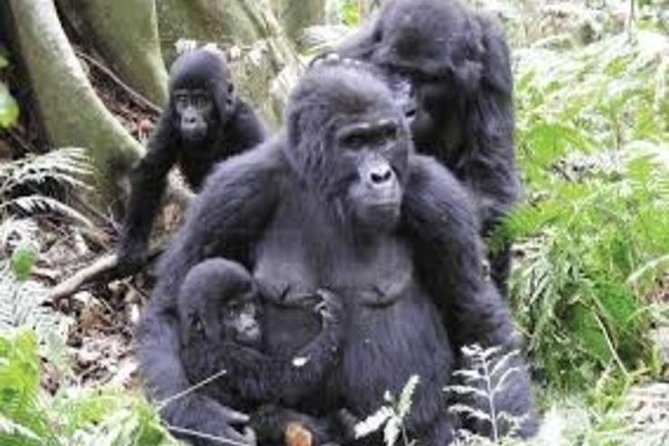 3days Gorilla trekking safari in Uganda