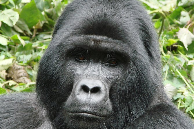 Gorilla Trekking Bwindi - 3 DAYS