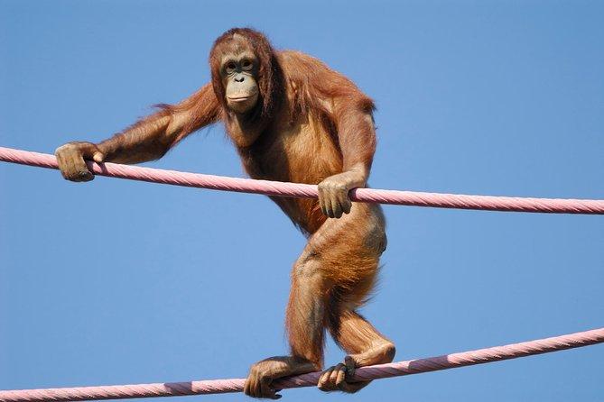 Semonggoh Orangutan Rehabilitation Centre Tour from Kuching
