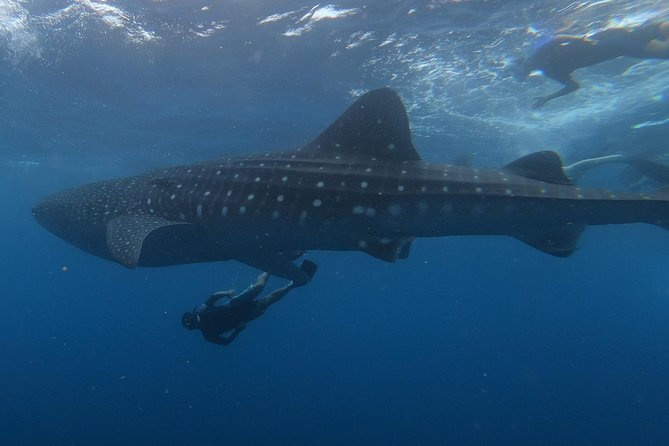 Swim with whale sharks on a private tour