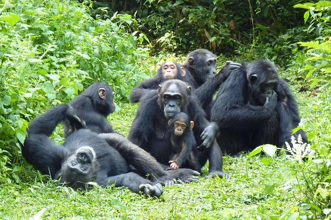 5 Days Gorilla and Chimpanzee Trekking Safari