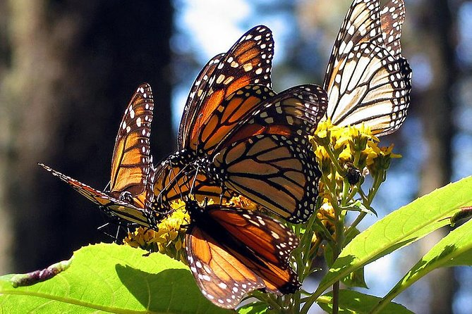 From Mexico City: Private Tour to Monarch Butterfly Reserve & Angangueo