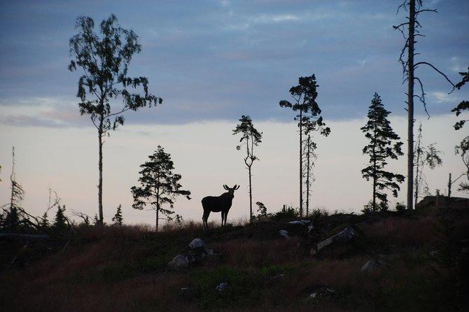 Moose safari in the wild Sweden Tiveden