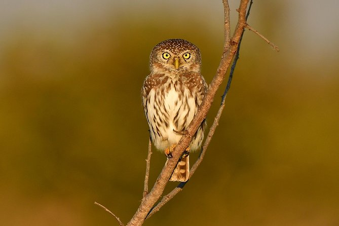 Pearl Spotted Owlet in the afternoon light