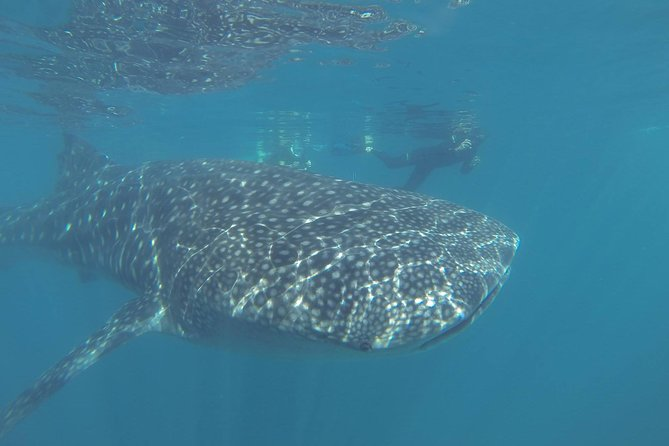 Whale Shark Encounter in La Paz photo 9