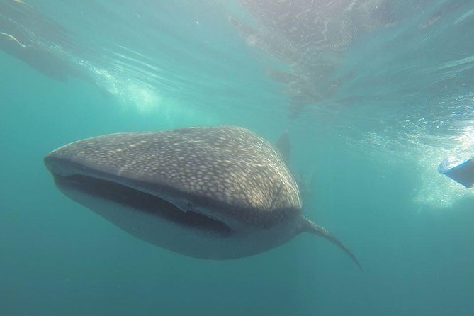 Whale Shark Encounter in La Paz photo 10