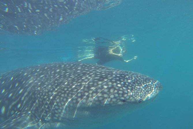 Whale Shark Encounter in La Paz photo 4