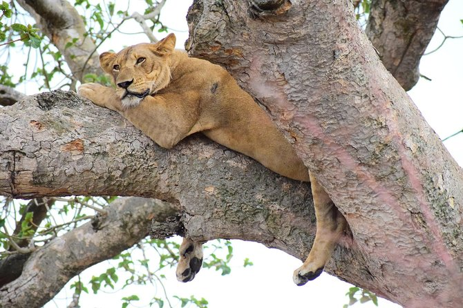 Tree Climbing Lions in Queen Elizabeth 3 Day Park Safari