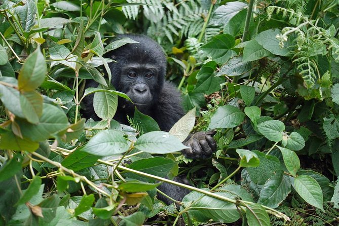 Bwindi - Queen Elizabeth Parks 5 Days Gorilla Uganda Safari photo 8