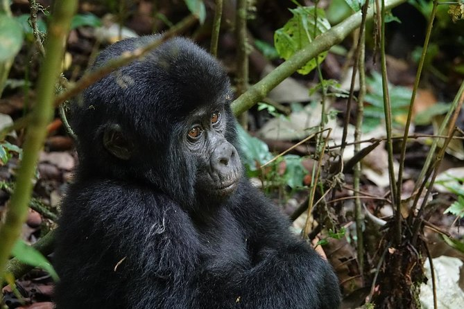 Bwindi - Queen Elizabeth Parks 5 Days Gorilla Uganda Safari photo 1