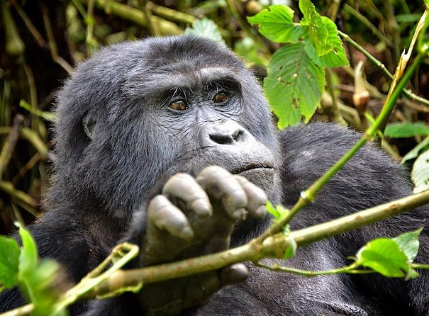 Gorilla Trekking Wildlife 7 Days Uganda Safari photo 10
