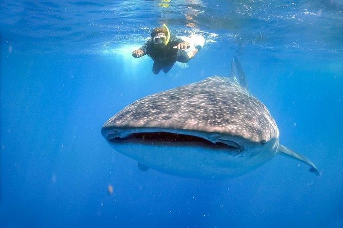 Shark Whale La Paz-Los Cabos
